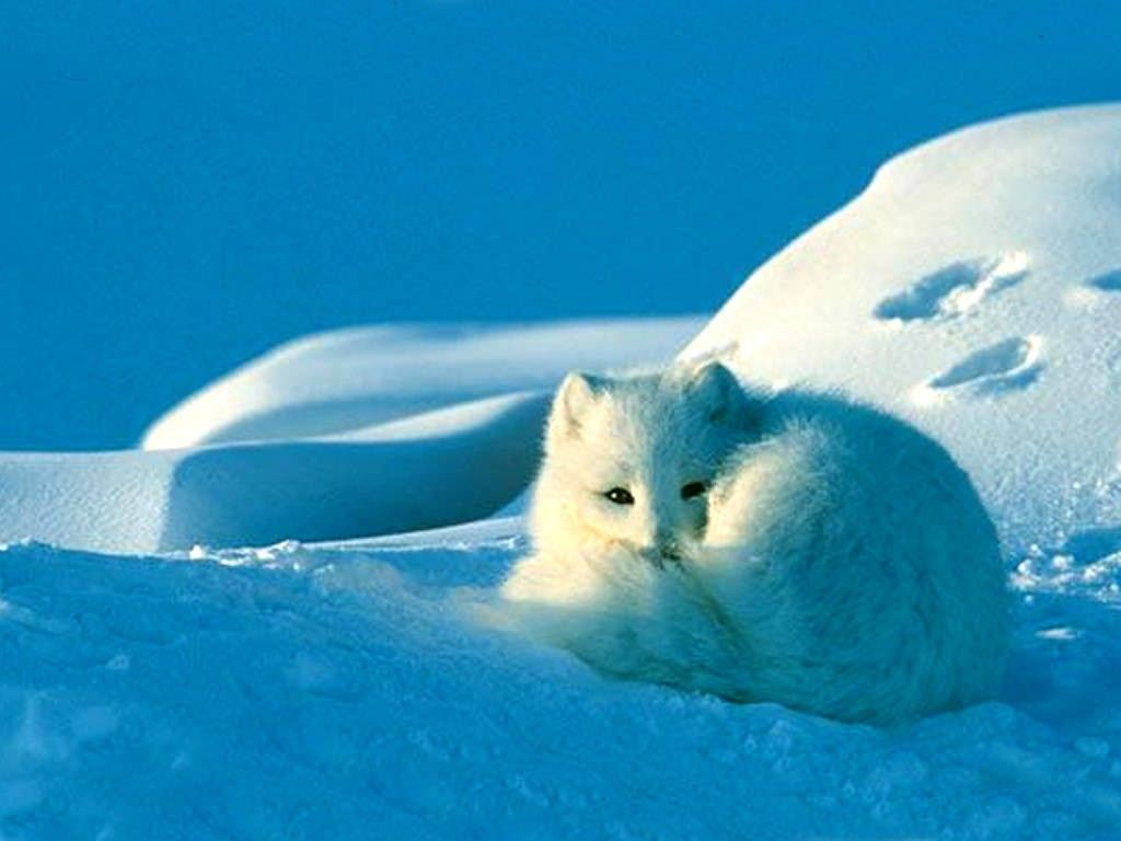35 best Arctic Fox images on Pinterest | Beautiful, Arctic tundra ...