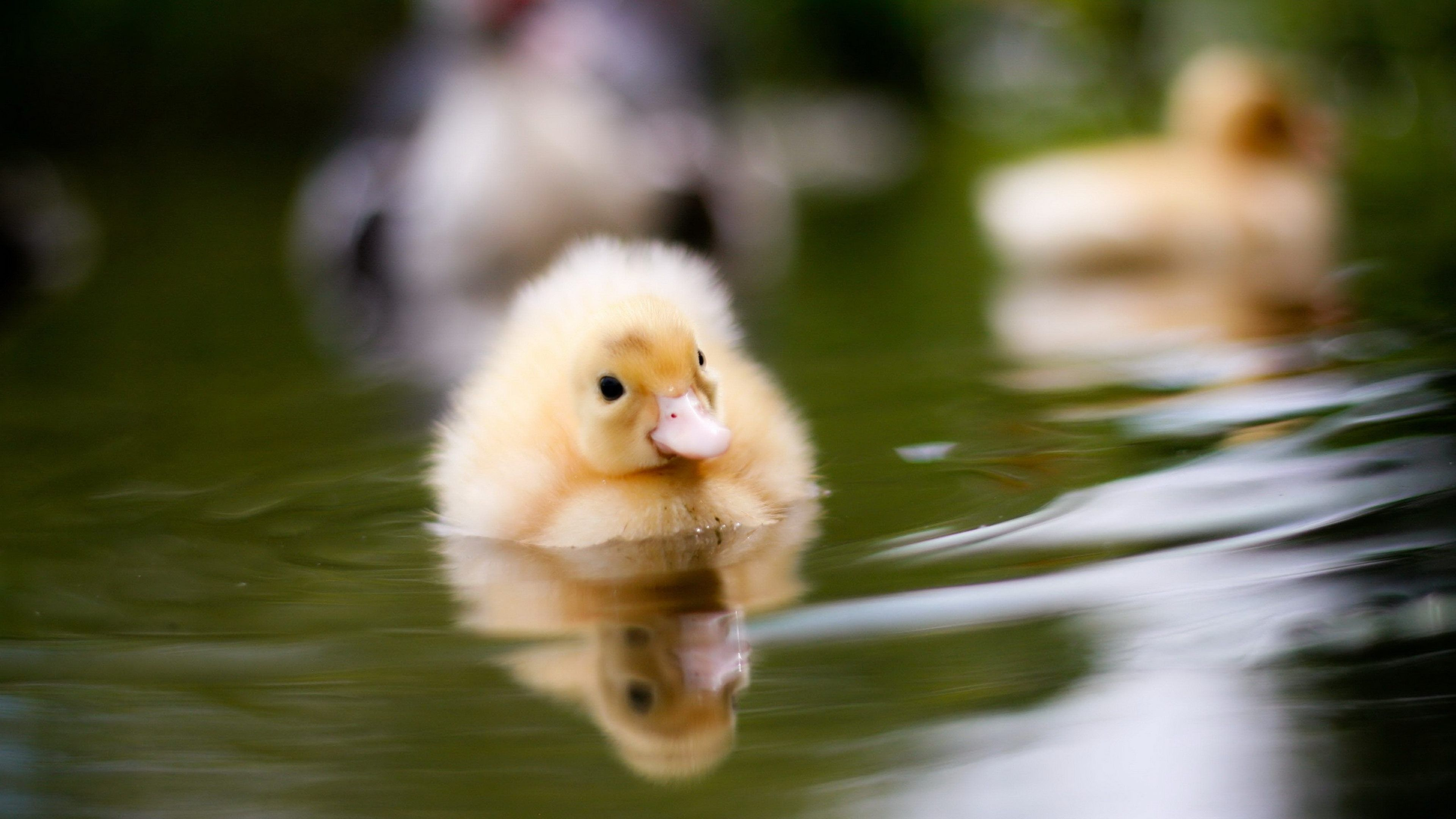 Download Baby Ducks Swimming 4K Wallpaper for desktop, mobile ...