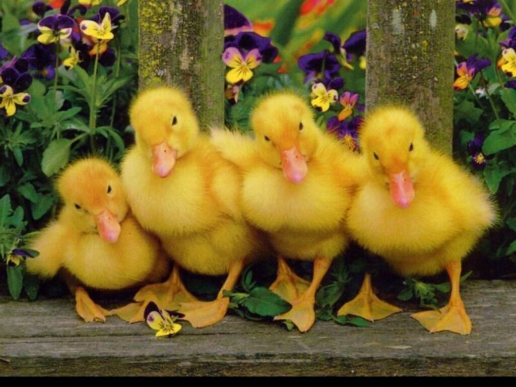 Animals Posted In Tags Ducks 139986 Wallpaper wallpaper