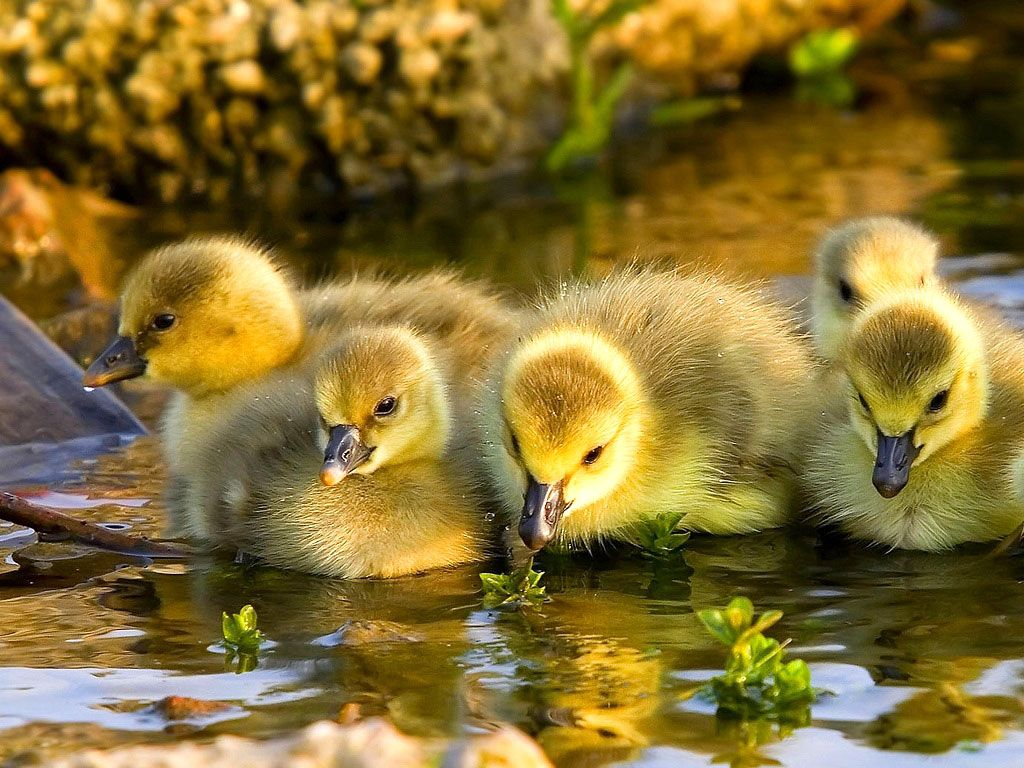 Baby Duck Wallpaper 13934 1024x768 px ~ HDWallSource.com
