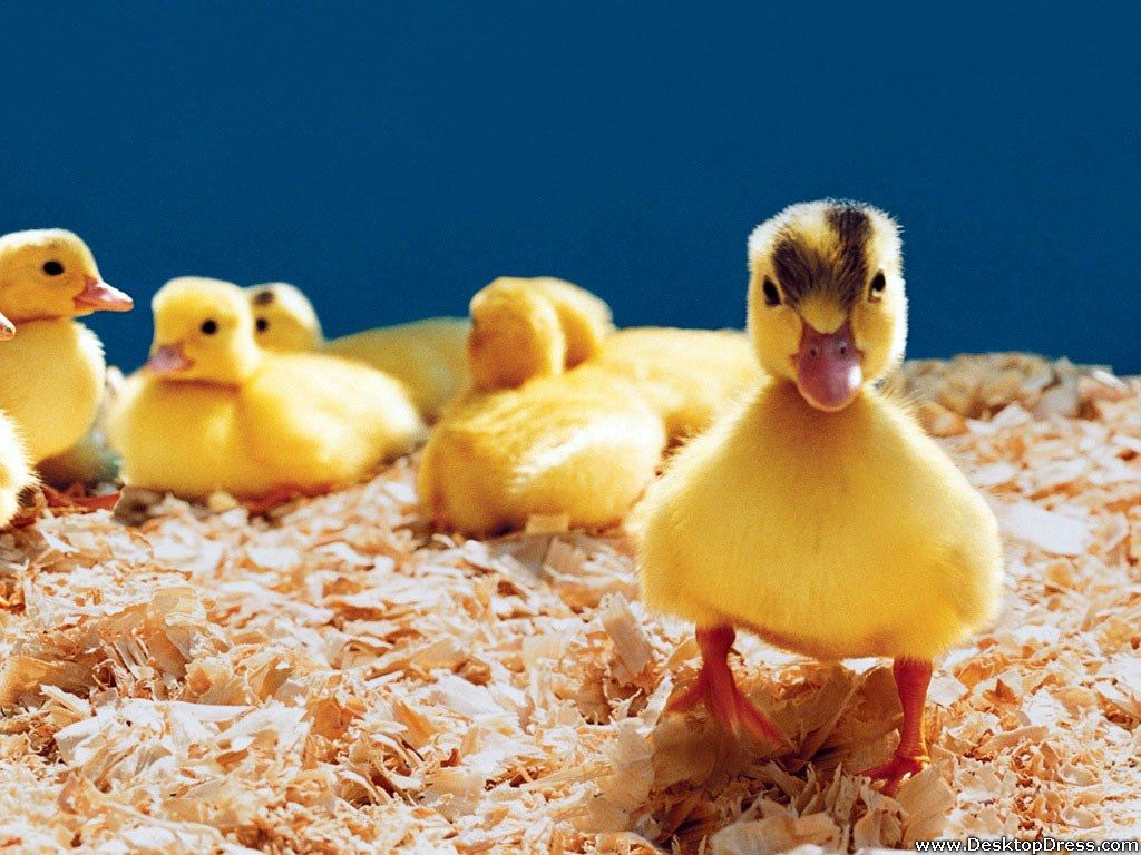 Desktop Wallpapers » Animals Backgrounds » Baby Ducks » www ...
