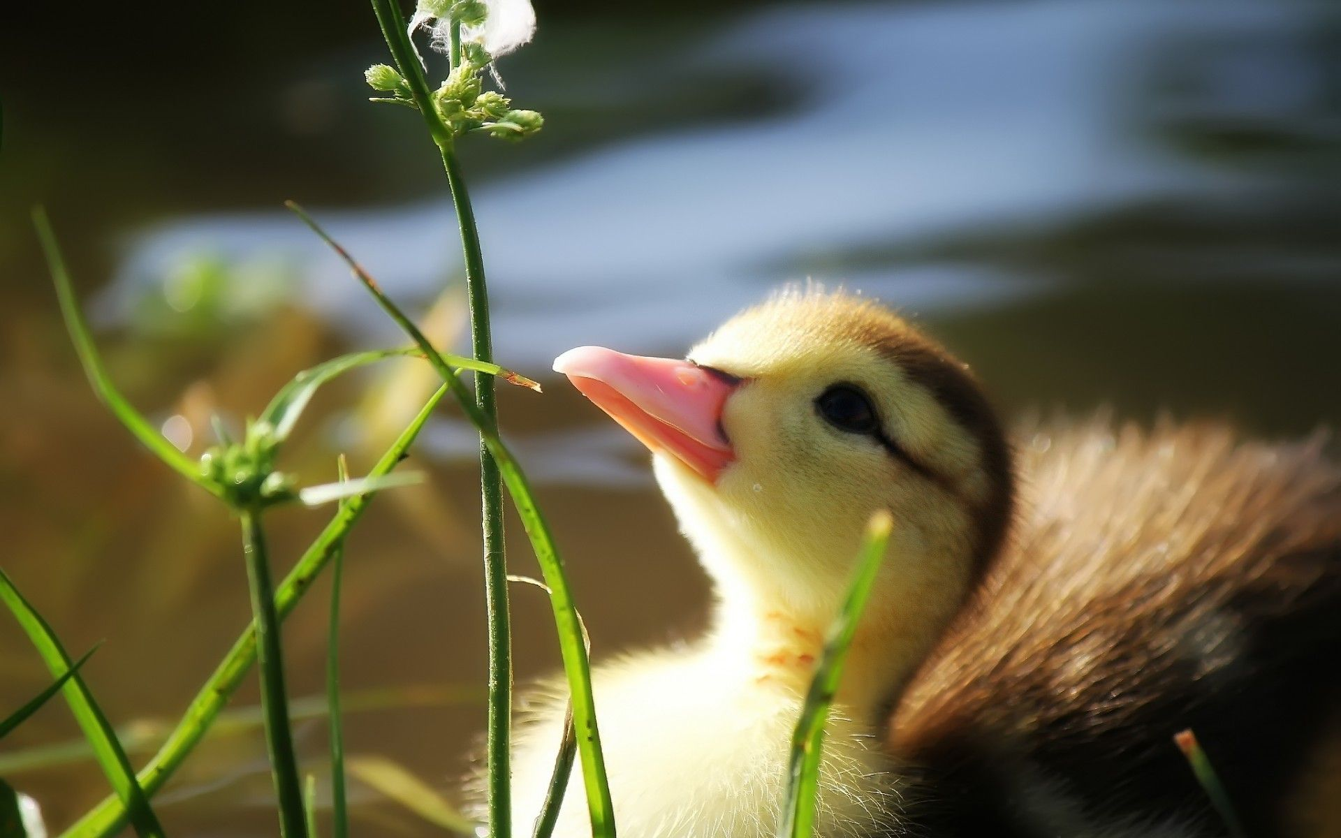 Duck grass beak pond water duckling wallpaper | 1920x1200 | 70405 ...