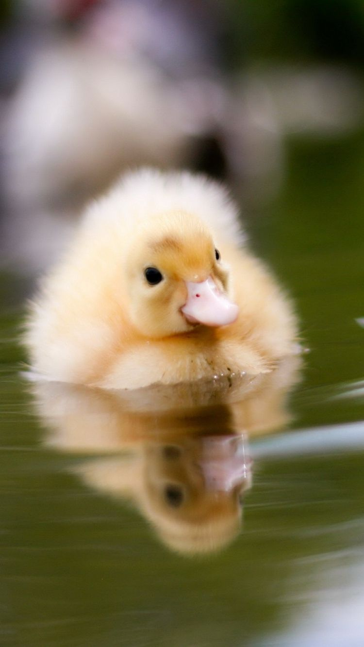 Download Wallpaper 750x1334 Duckling, Water, Swim, Baby iPhone 6 ...