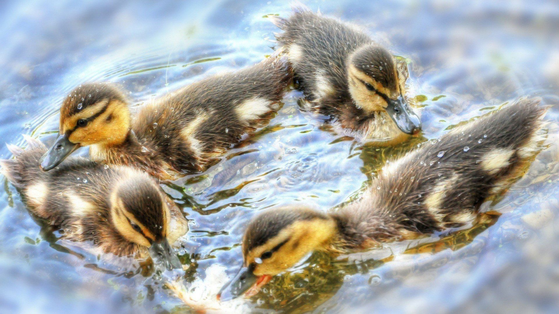 Animals Baby Water Ducks Birds Ducklings - WallDevil