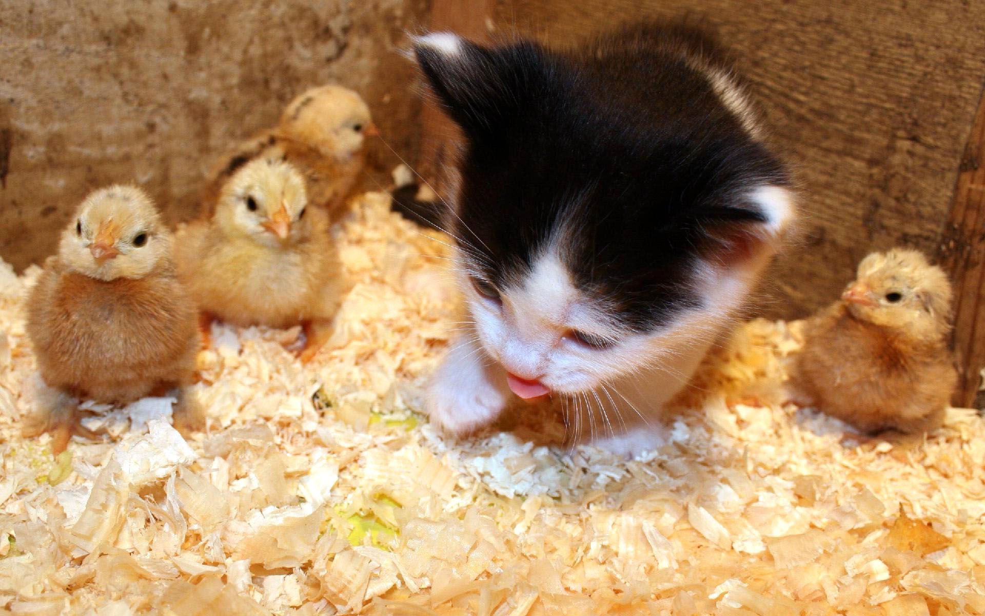 Baby Cat With Baby Ducks   Simply Wallpaper - Just choose and download