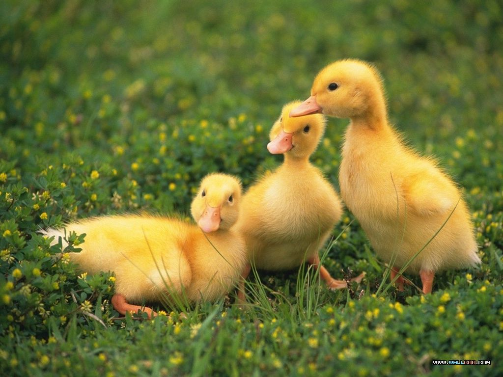 loveable Little Creatures: Baby chicks and ducks 1024x768 NO.13 ...