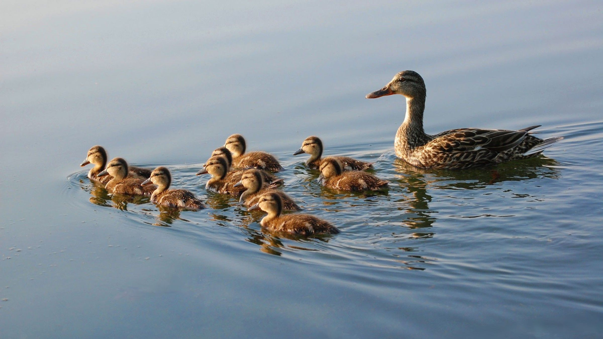 Nature family ducks duckling baby birds wallpaper | AllWallpaper ...