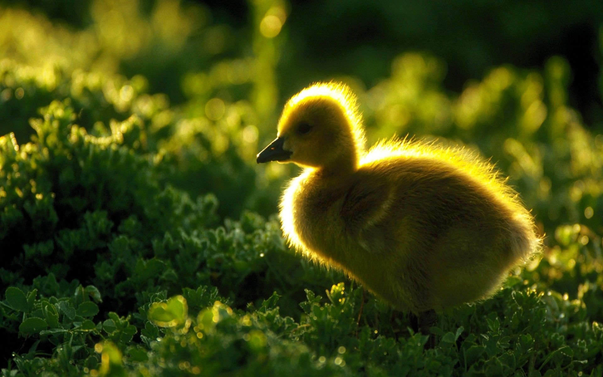 Awesome Animals Desktop Backgrounds: Duckling Free HD #792345  .Ssoflx