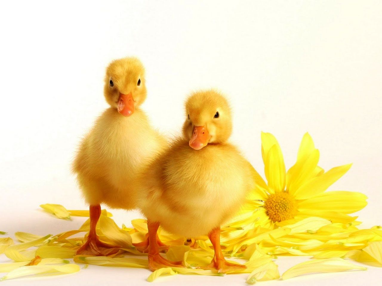 Baby Duck Wallpaper 13937 1280x960 px ~ HDWallSource.com