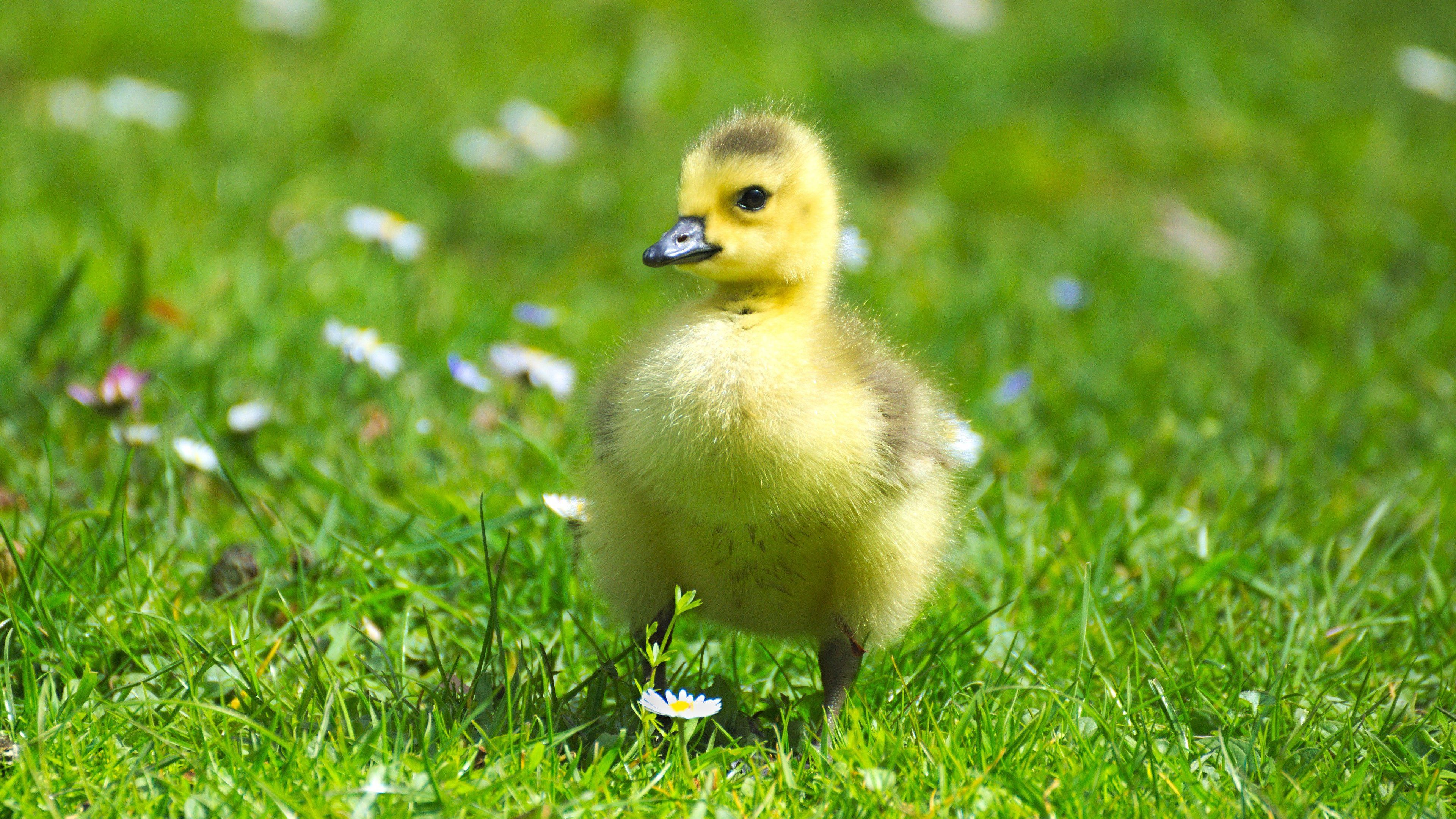 Fluffy Baby Goose Wallpaper - Mobile & Desktop Background