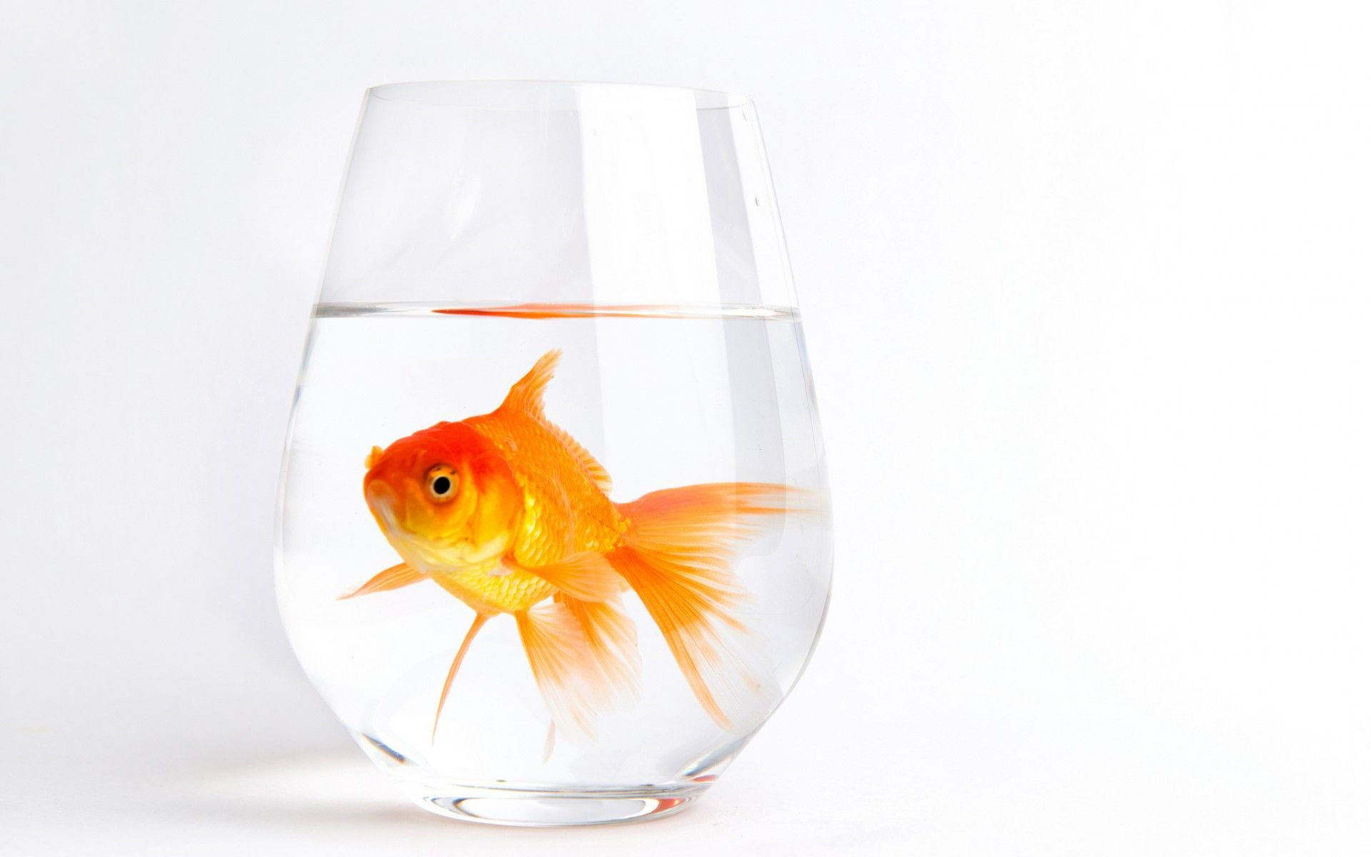 Gold fish in a glass with water. Animals Wallpapers. download ...
