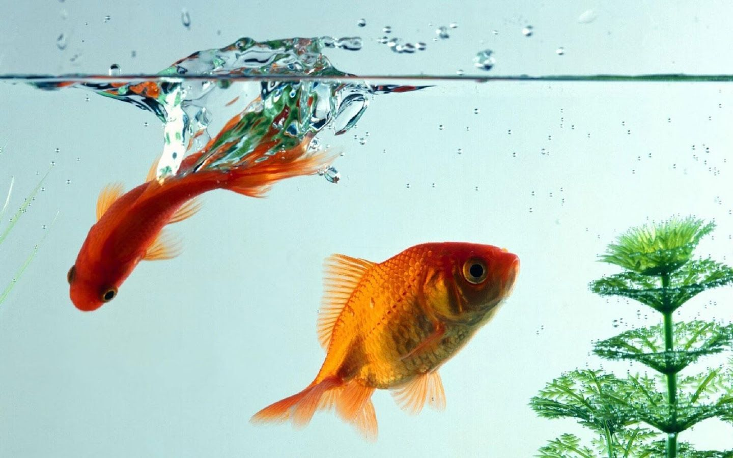 Goldfish Live Wallpaper - Android Apps on Google Play