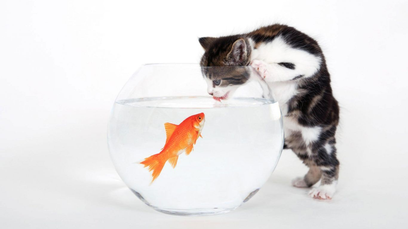Fish Funny Cat Aquarium Animals Desktop Wallpaper Widescreen ~ Cat ...