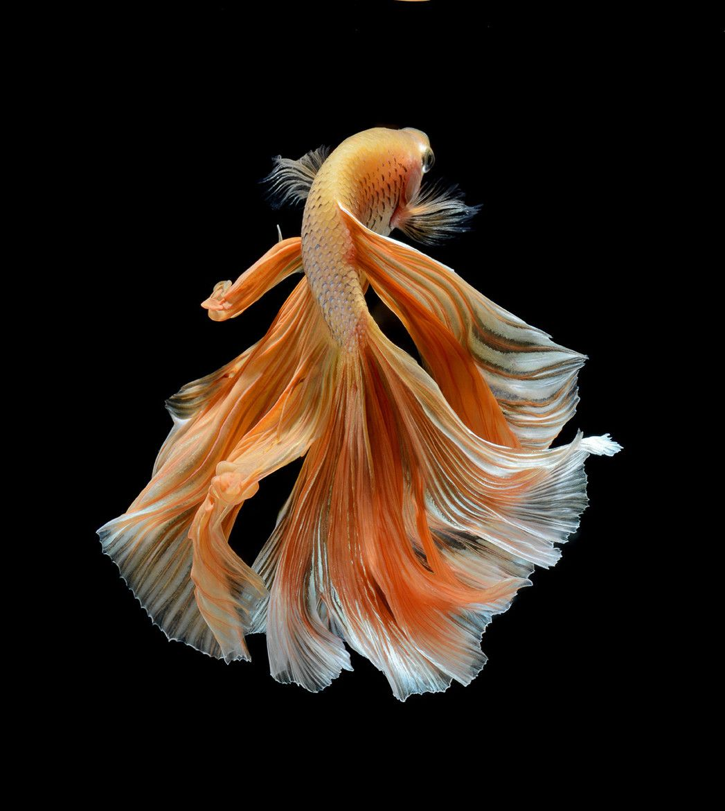5 Most Beautiful Betta Fish in the World [Pet Lovers Should Know ...