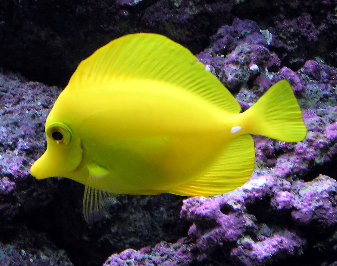 Aquarium Fish - Yellow Tang Fish Wallpaper | Animals Library
