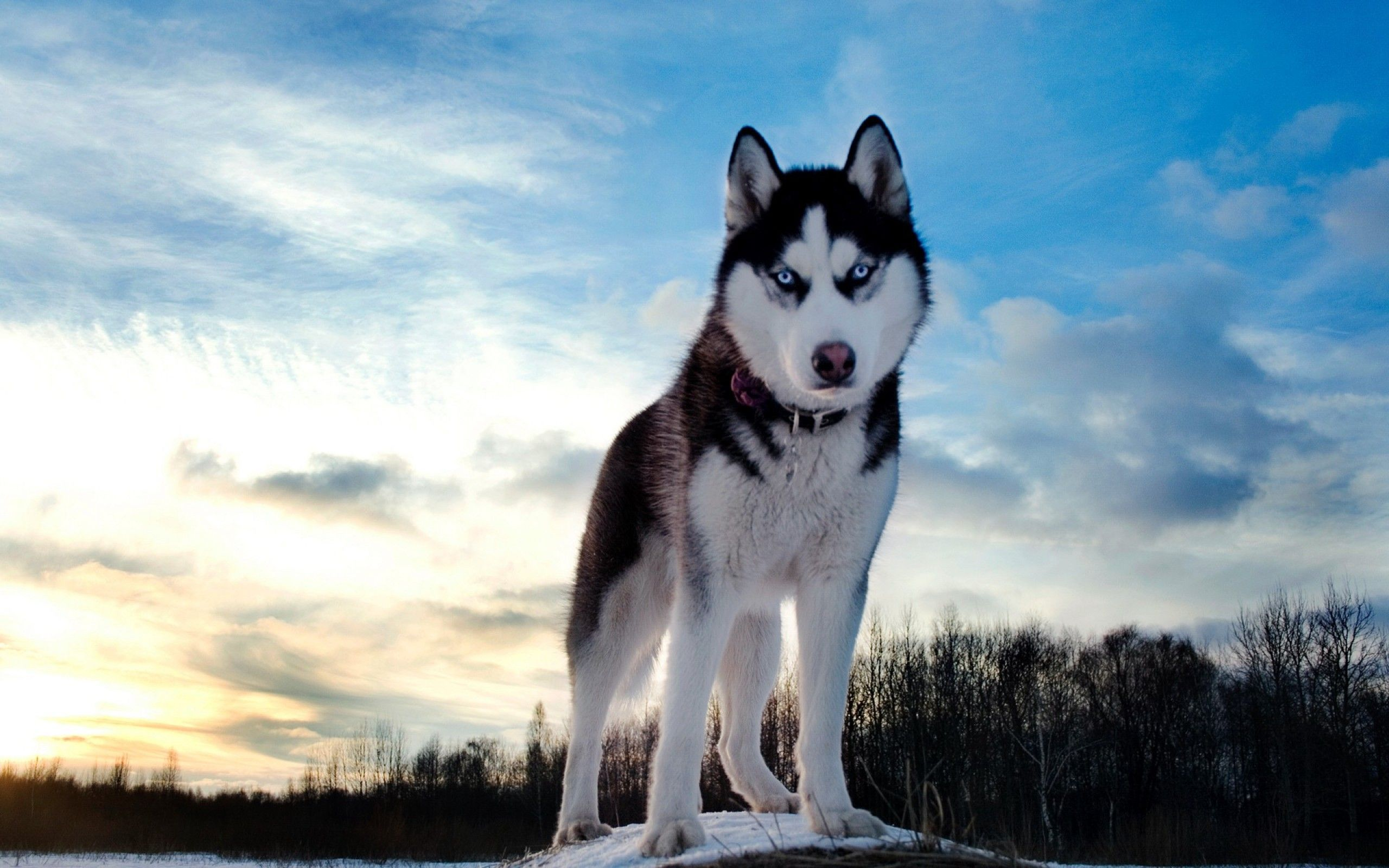 Siberian Husky Wallpapers - Wallpaper Cave | Android | Pinterest ...
