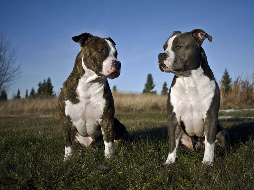 American Staffordshire Terriers Wallpapers | Animals | Pinterest ...