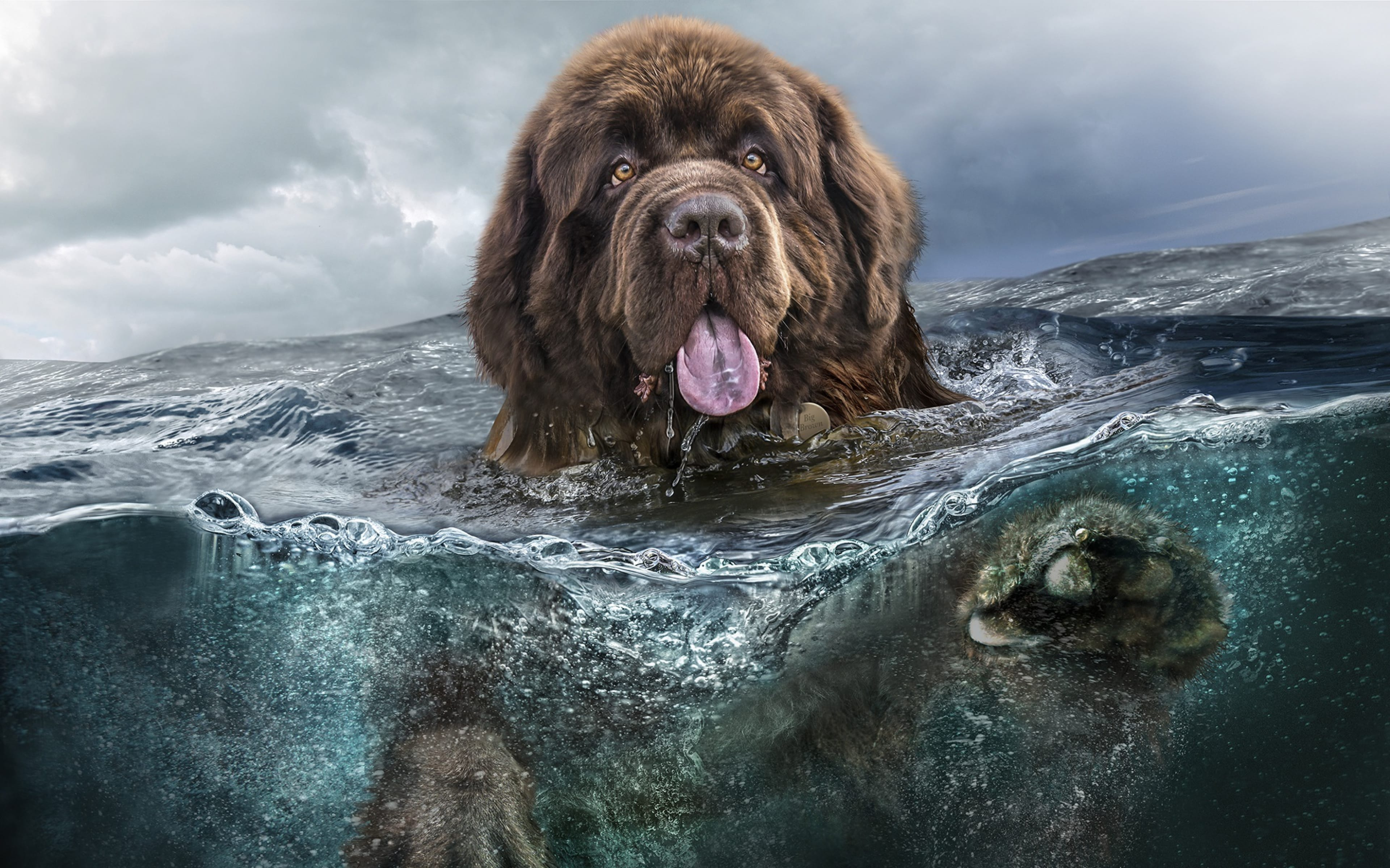 Newfoundland Dog HD Desktop Wallpapers | 7wallpapers.net