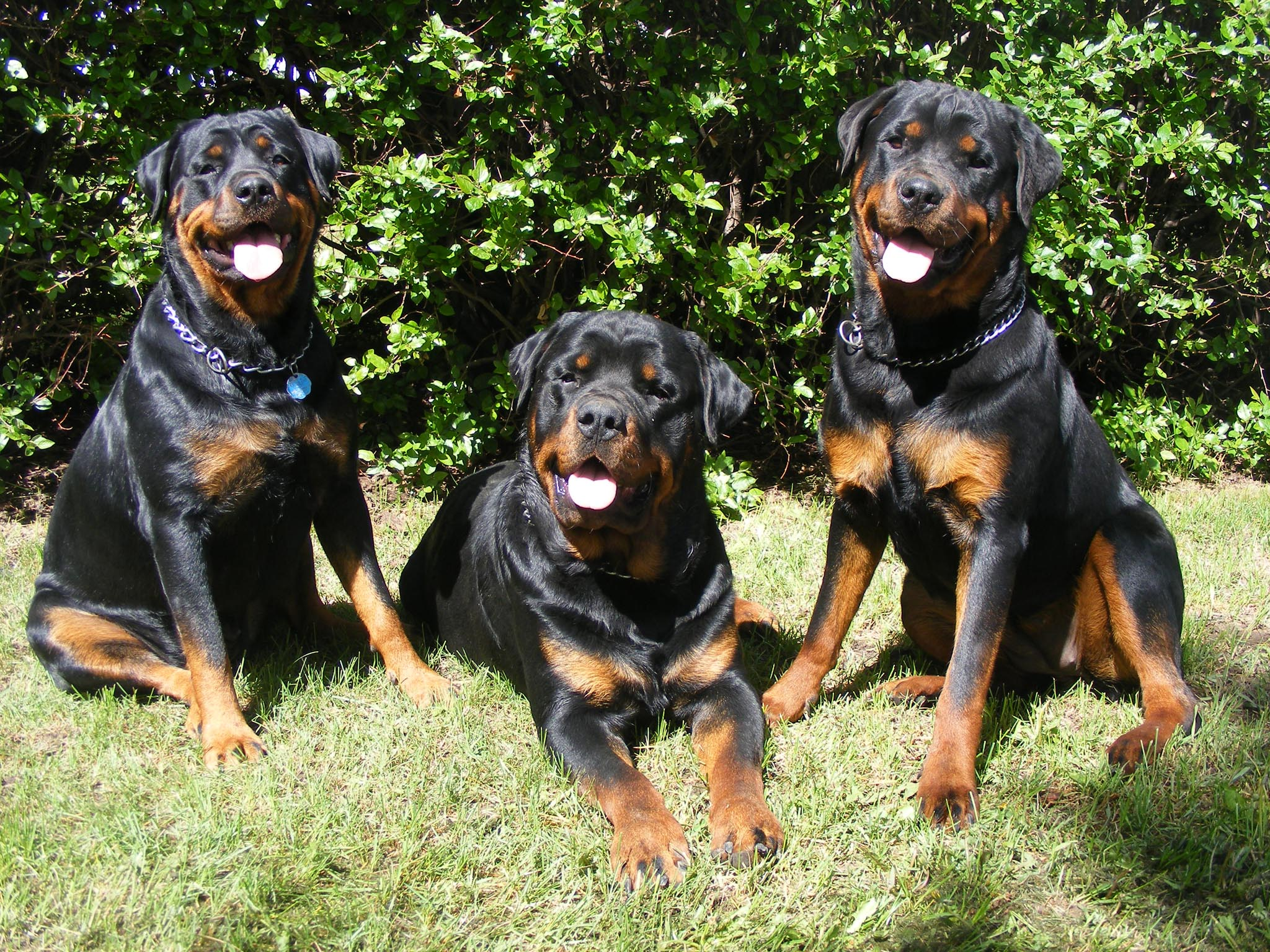 colorful pictures of rotties | Wallpapers Dogs Rottweilers Pack ...