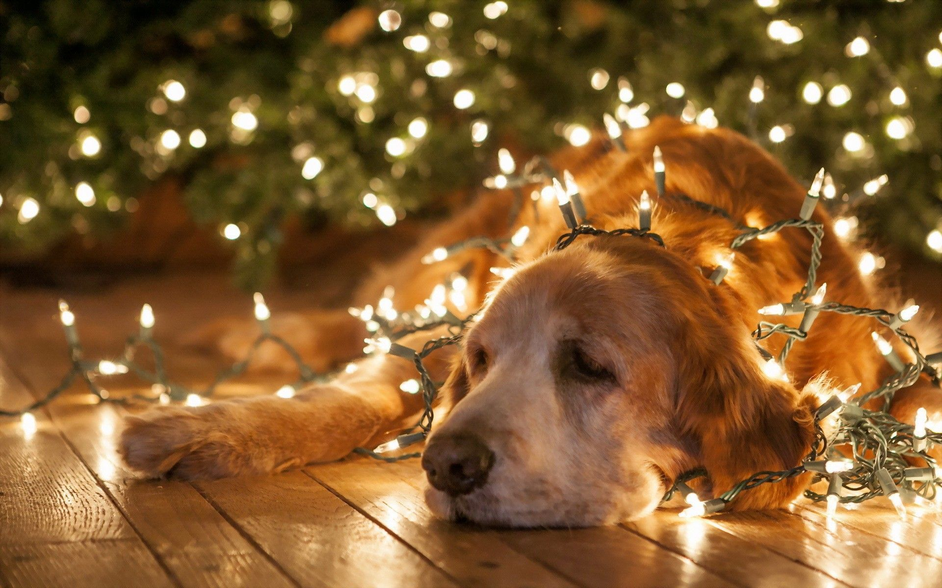 Christmas dog wallpapers and images - wallpapers, pictures, photos ...