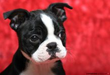 Boston Terrier Dogs.jpg