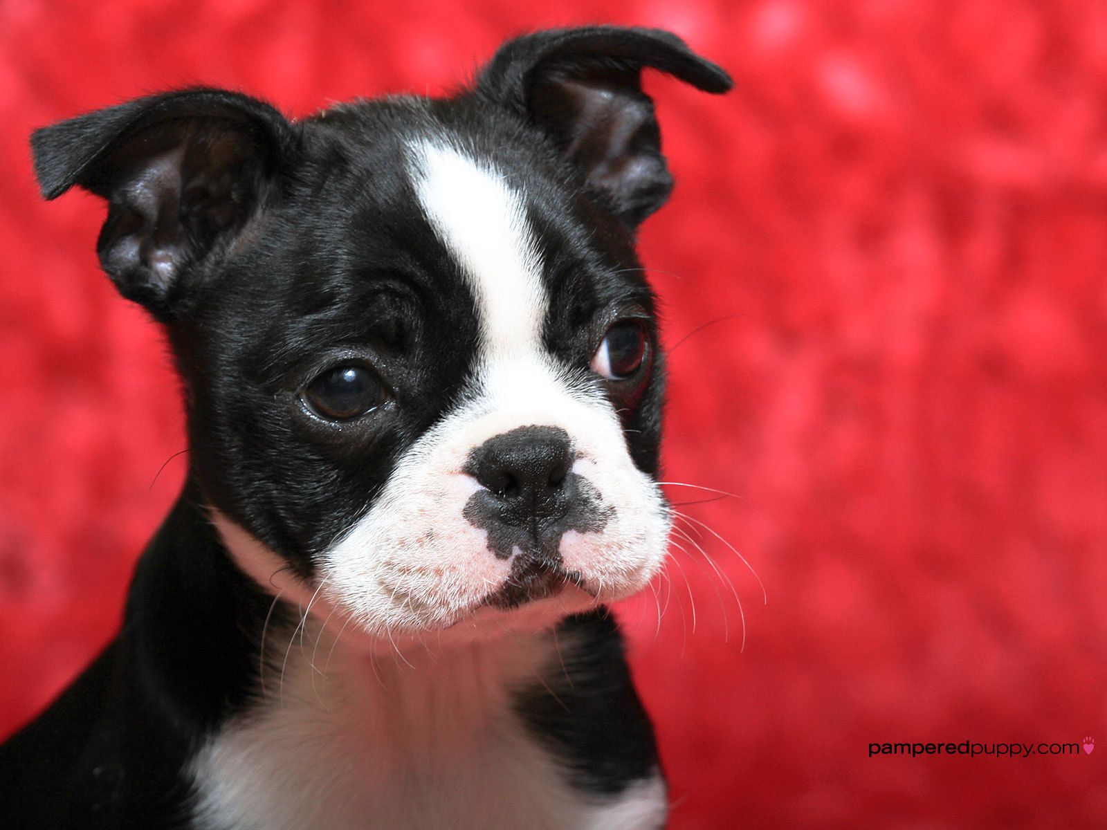 Boston Terrier - wallpaper.