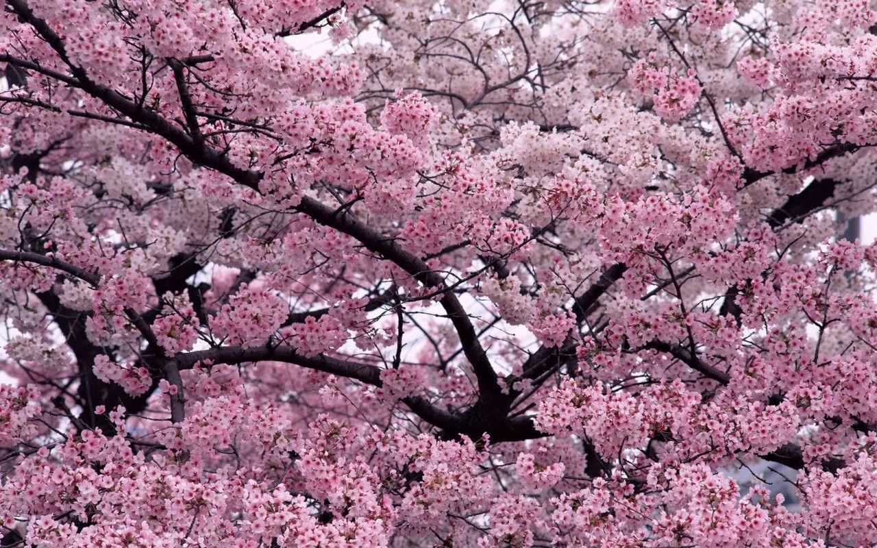 Sakura Flower with 1280x800 Resolution Wallpaper Download Logo And ...