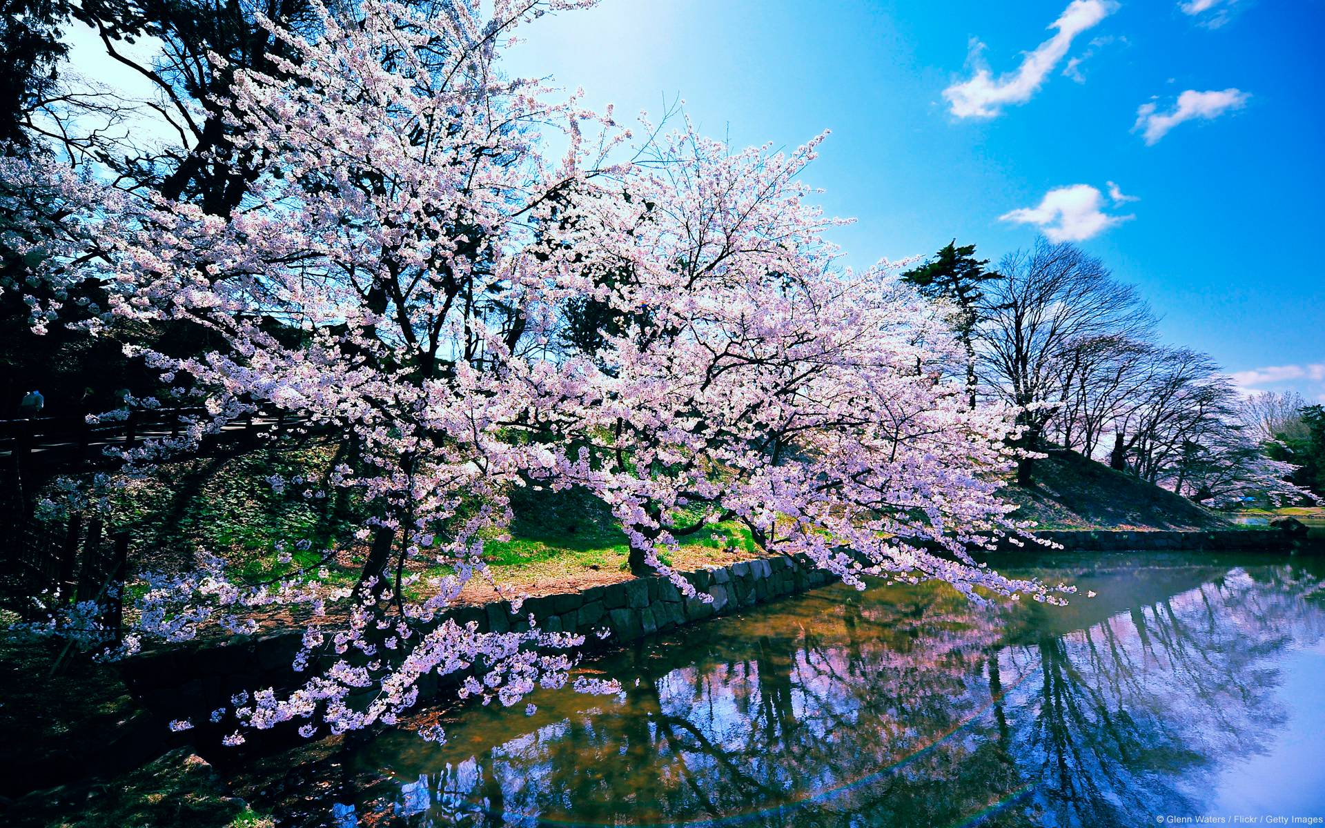 Cherry Blossom Trees Wallpapers | HD Wallpapers