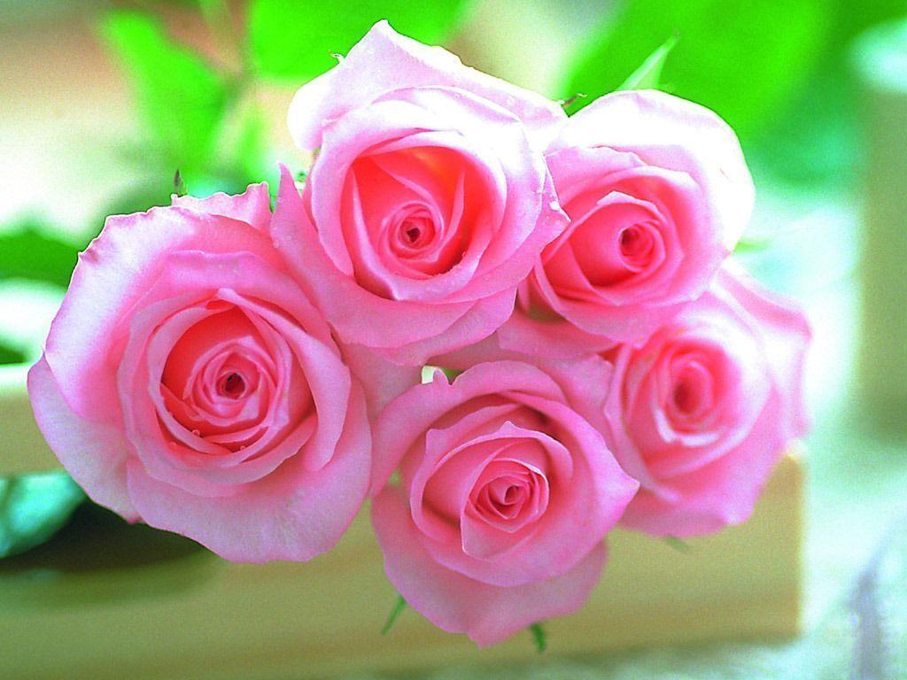 Pink roses pictures download - Pink Wallpaper Designs