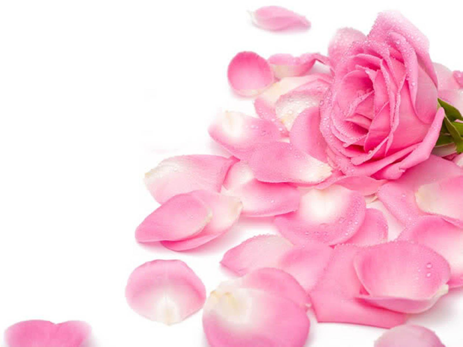 Pink Rose Wallpapers | Hd Wallpapers