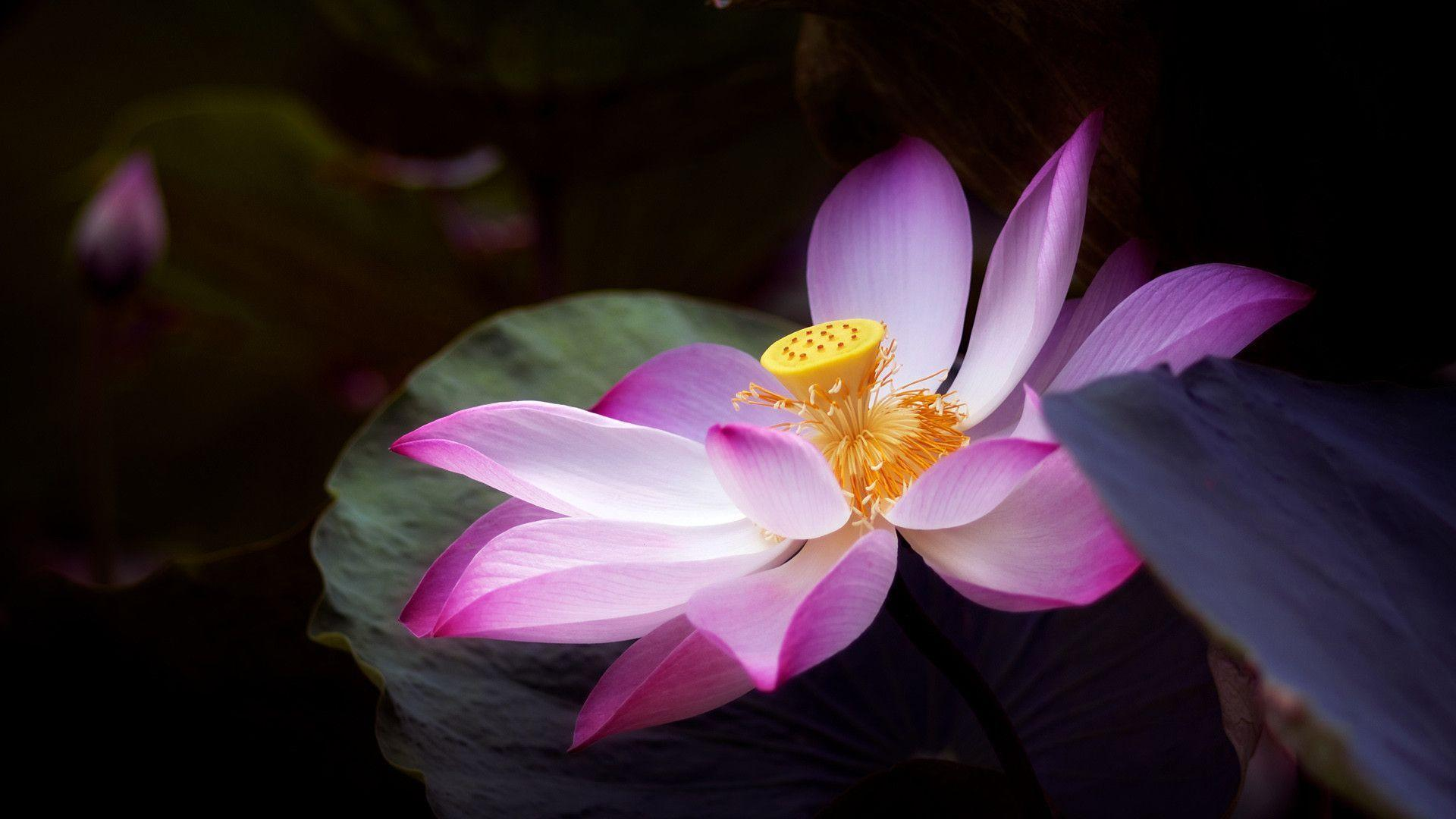 You Can Download The Lotus Flower Wallpaper (1920 X 1080 Px) Here ...