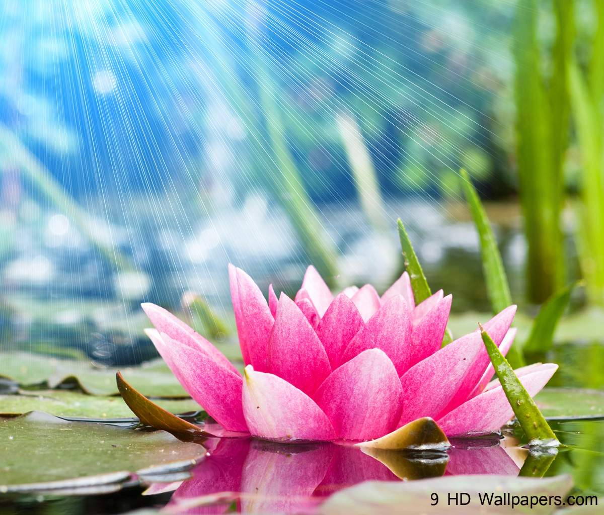 Lotus Flower HD Wallpapers, Flowers Images And Photos – Full HD ...