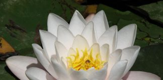 Lotus Flower Wallpapers.jpg