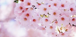 Sakura Flower Wallpapers.jpg