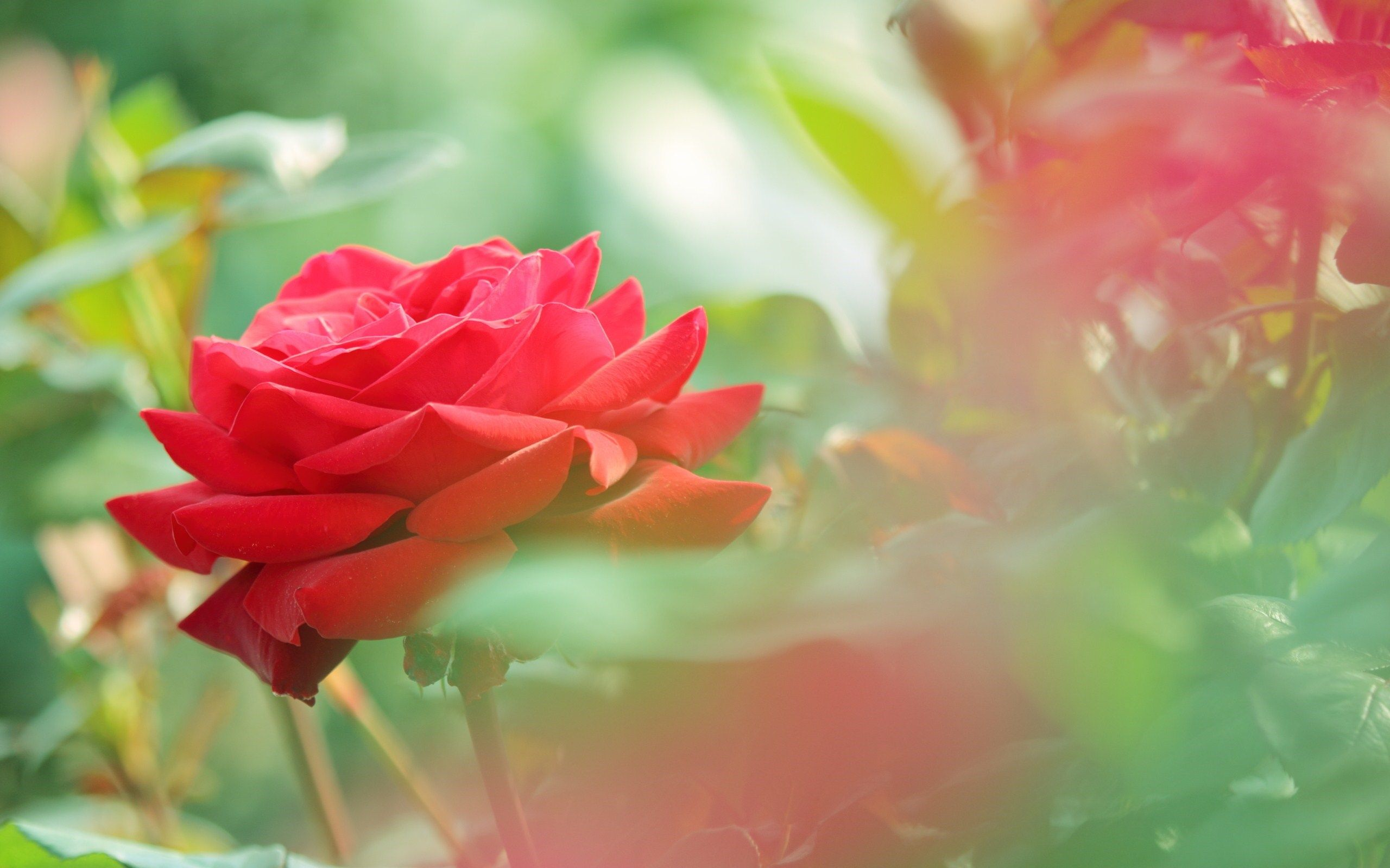 beautiful red rose flower photo hd wallpaper | HD Wallpapers
