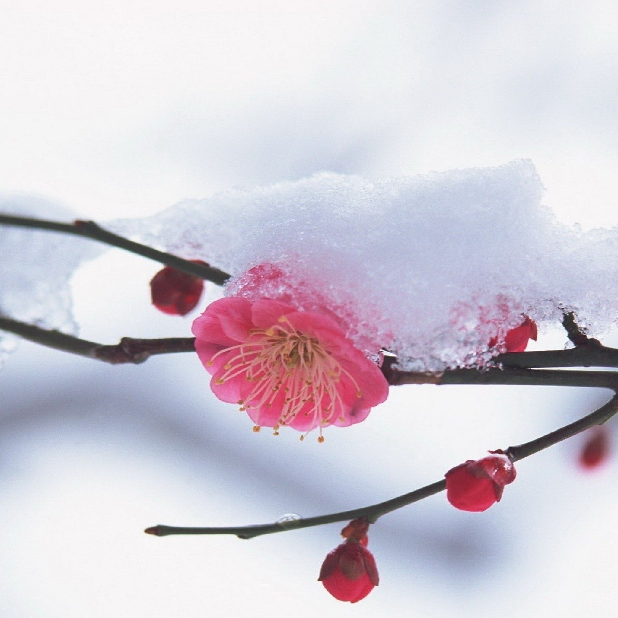 Flower Plant Pink Snow - Tap to see more beautiful Winter snow ...