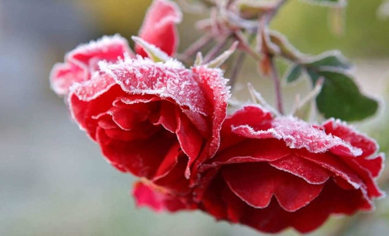 Flowers: Roses Bright Flowers Nature Winter Beautiful Red Flower ...