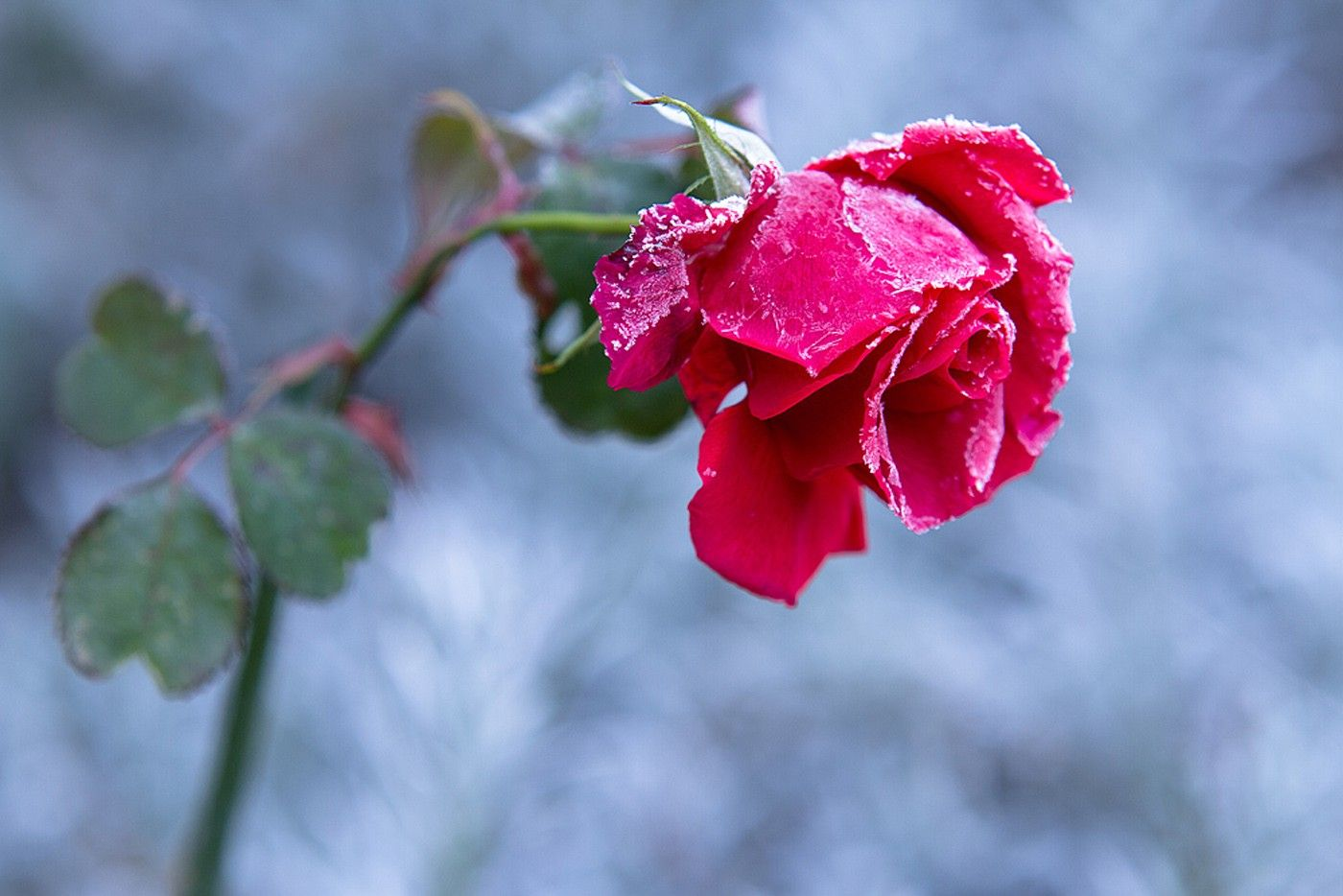 Flowers: Rose Cold Frost Red Green Winter Flower Wallpaper Pic for ...