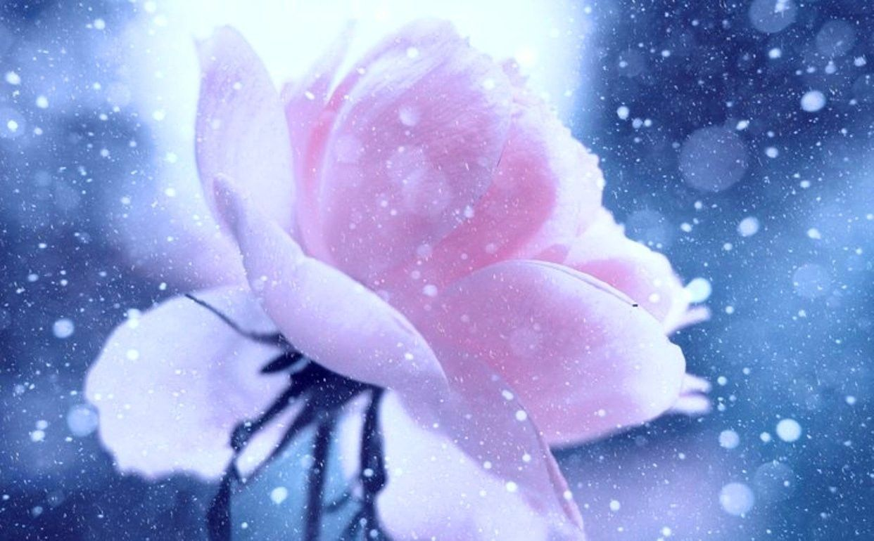 Wallpapers Tagged With Rose Page 80: Pale Rose Color Pink Petals ...