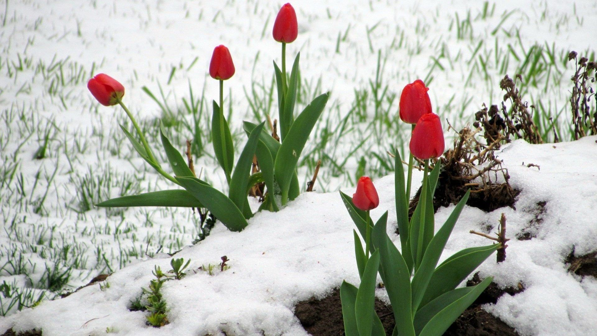 Flowers: Red Tulips Snow Winter Tulip Wallpapers 1920x1200 for HD ...