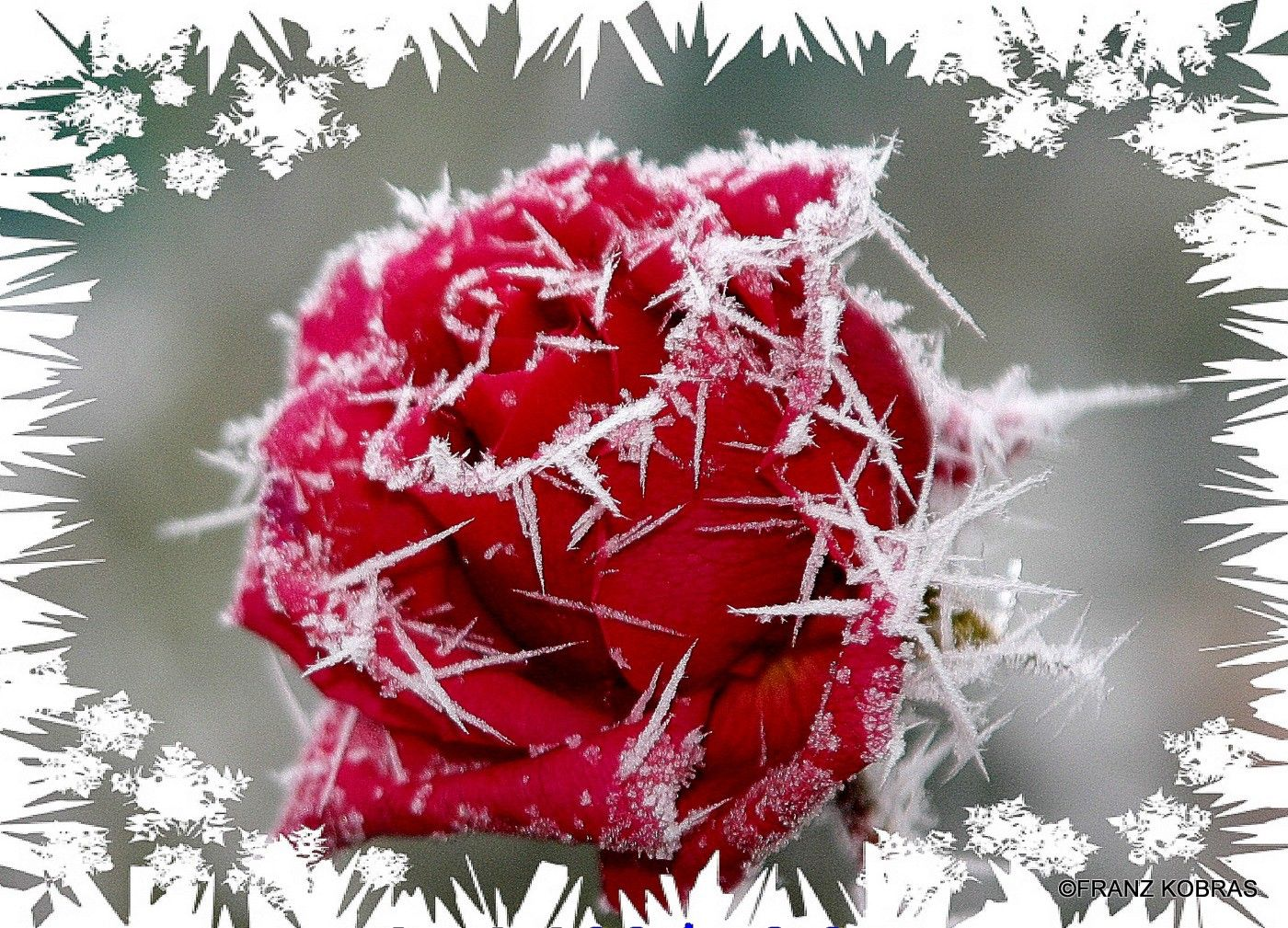 Flower: Frosty Rose Snow Winter Flowers Wallpapers Hd For Facebook ...