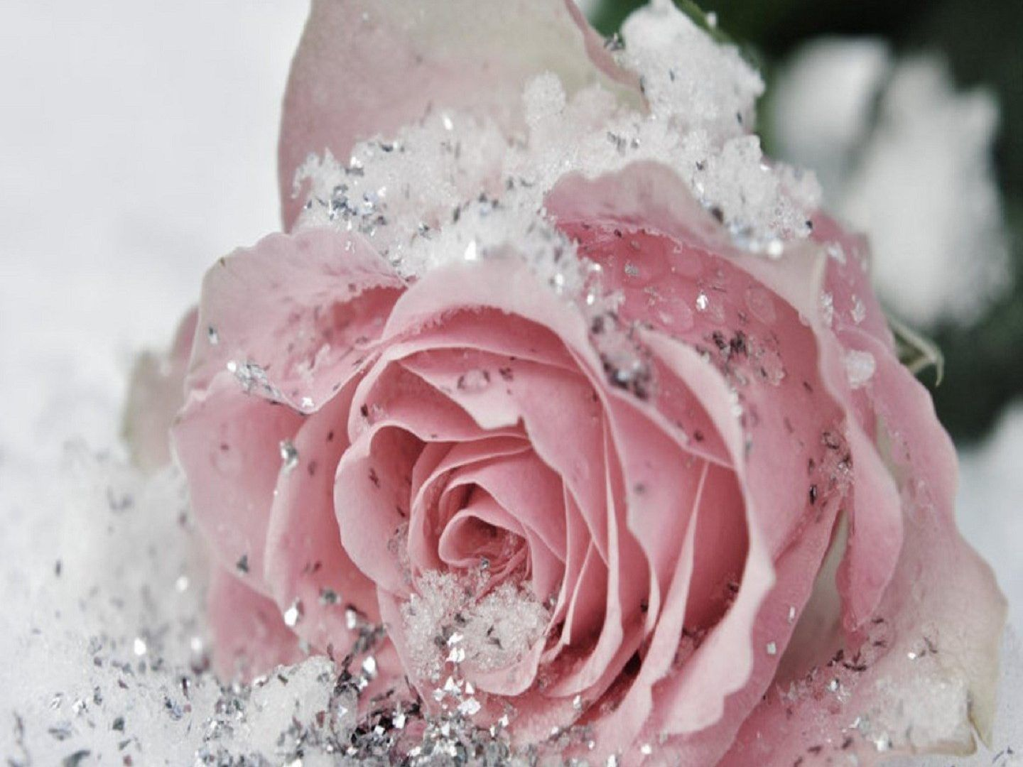 flowers winter rose snow ice beautiful silver nature cute frozen ...