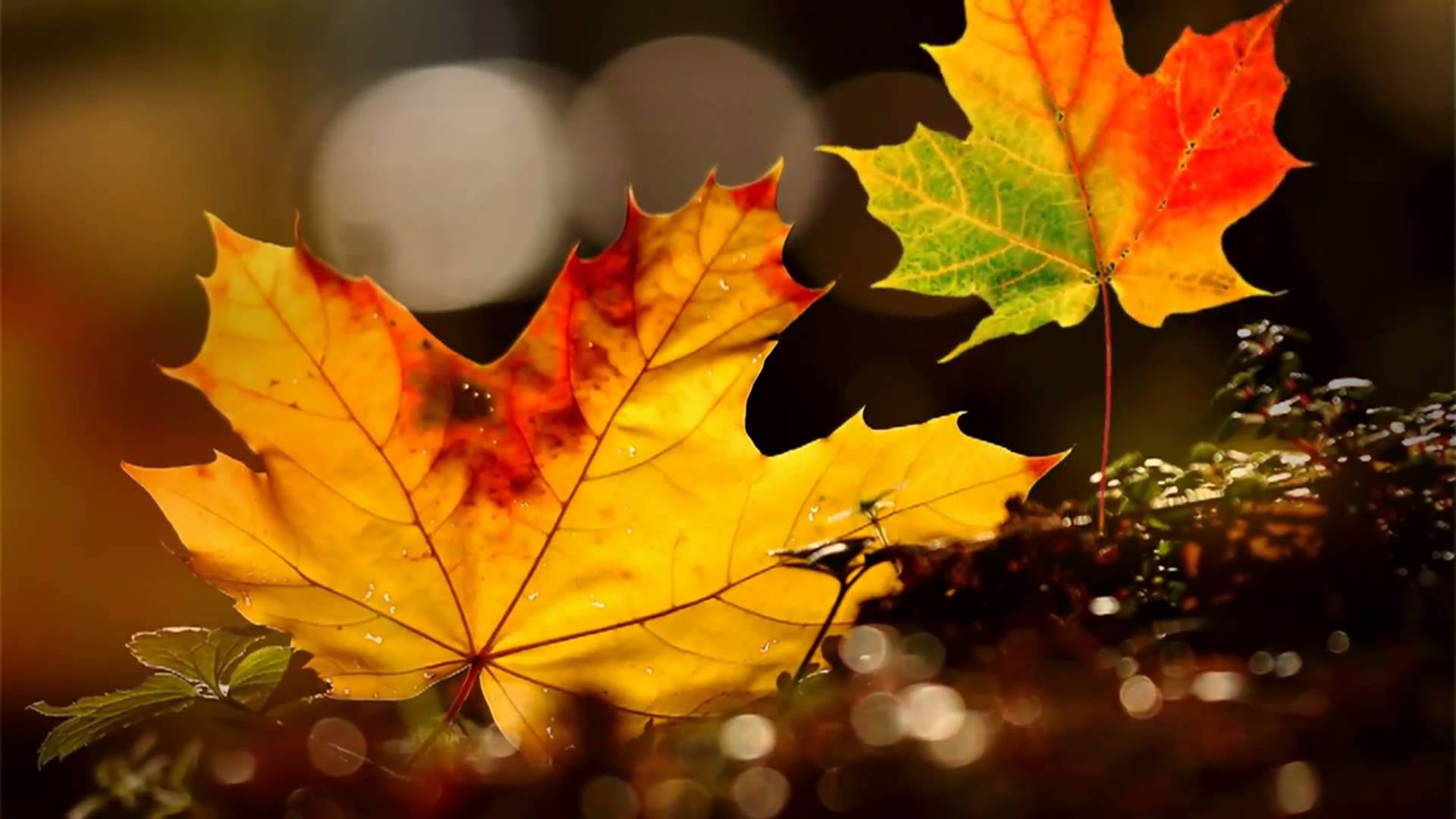 Video Background HD - Autumn leaves HD - Style Proshow ...