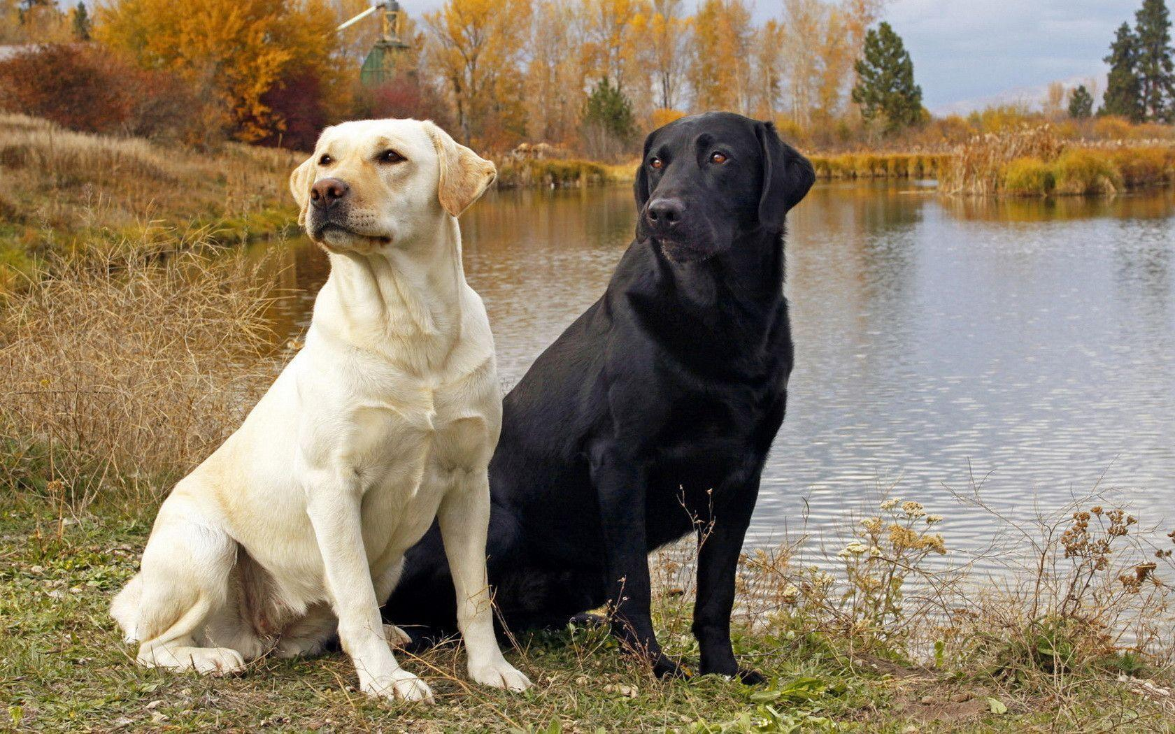 Pix For > Yellow Labrador Wallpapers