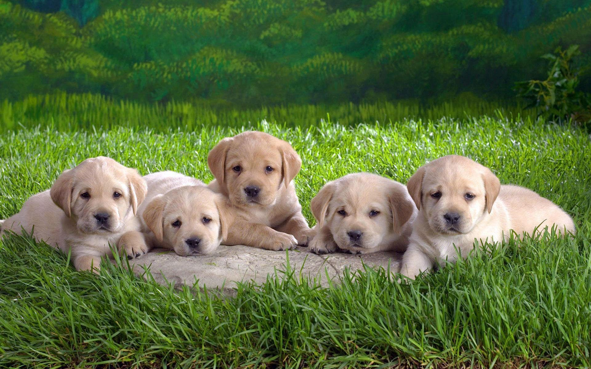Most Downloaded Labrador Wallpapers