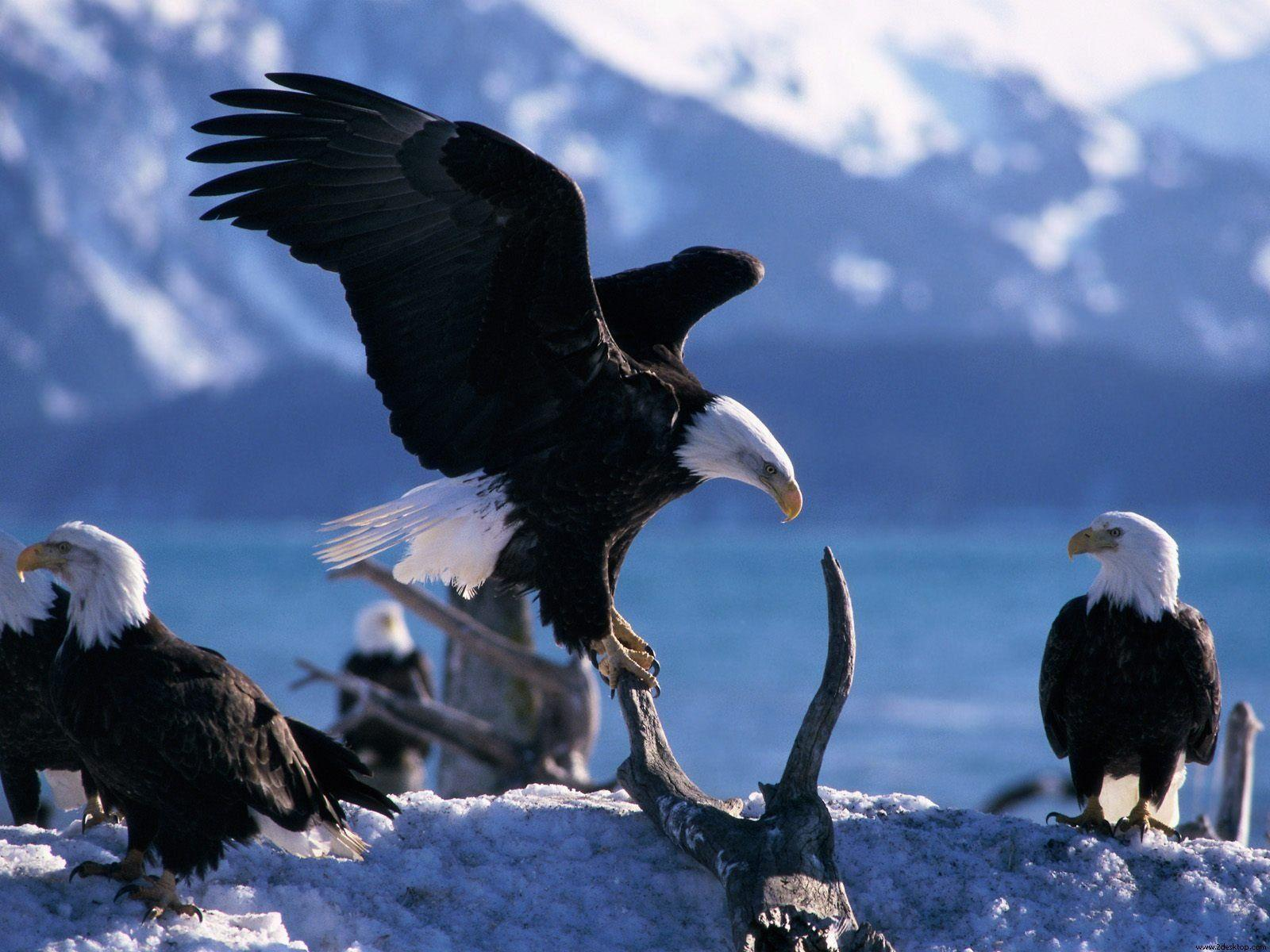 Animals : Pretty Animals Wings Extended Bald Eagles Desktop Image