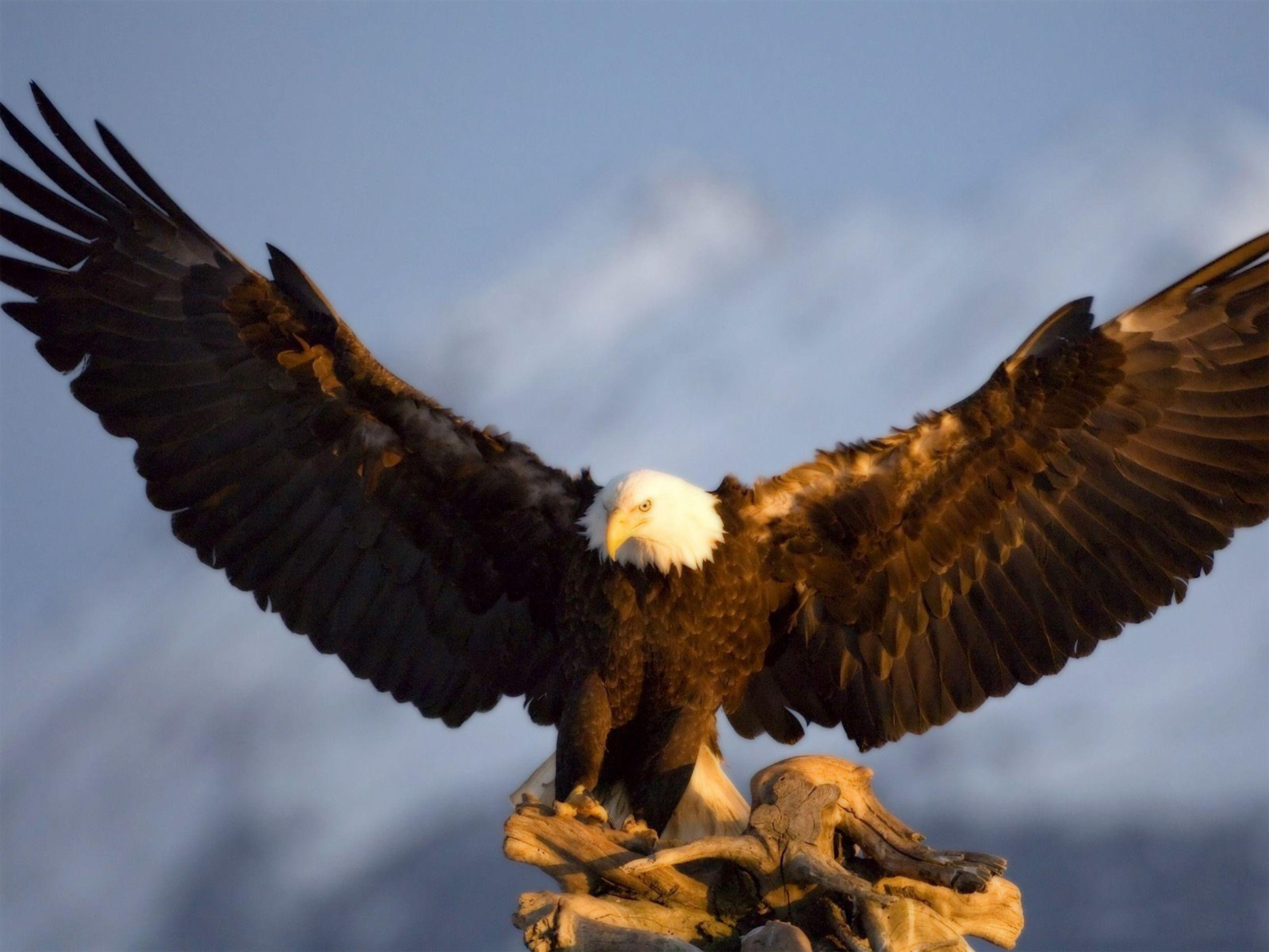 Wallpapers For > 3d Wallpapers Hd Eagle