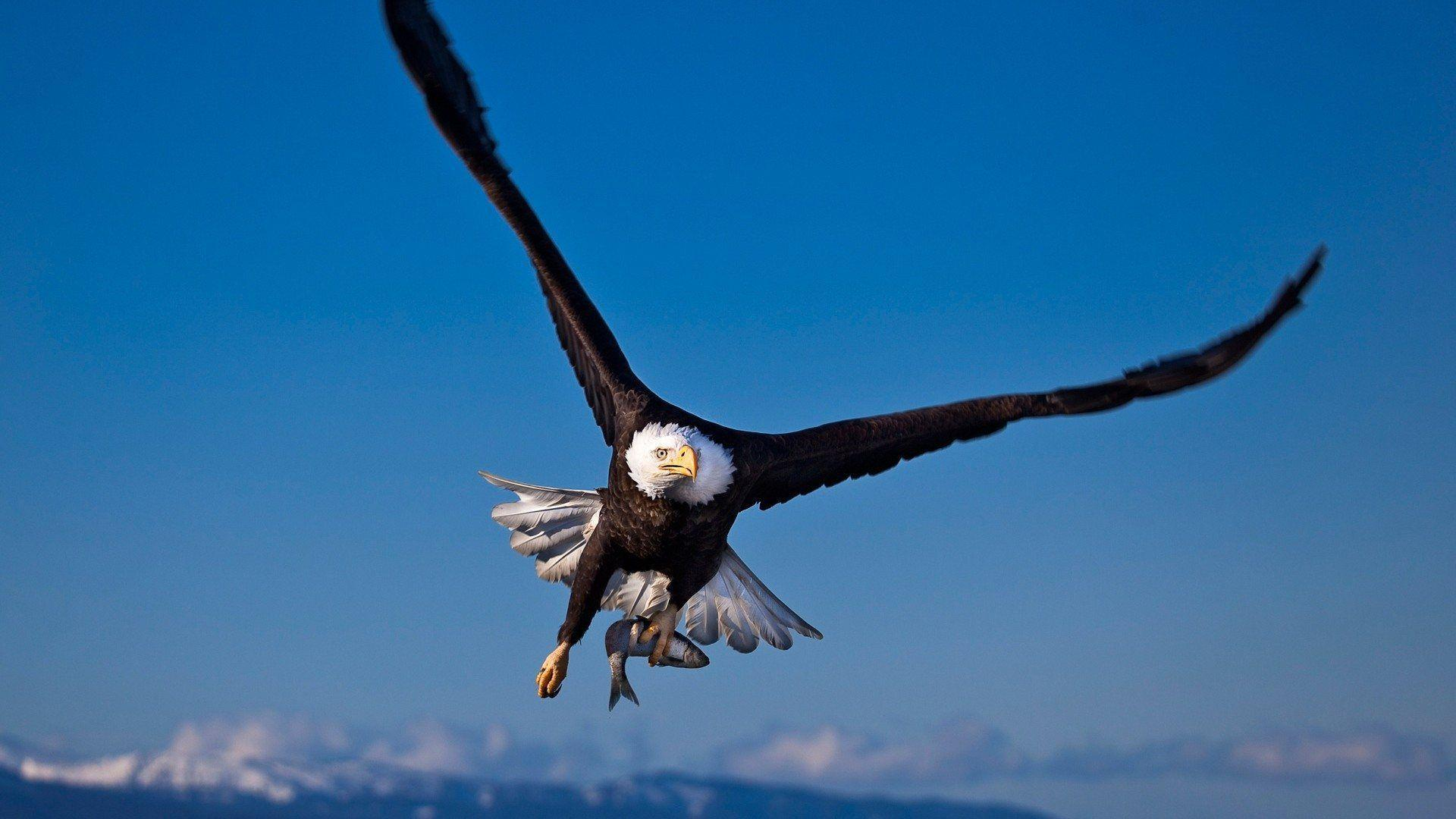 Animals For > American Eagle Hd Wallpapers