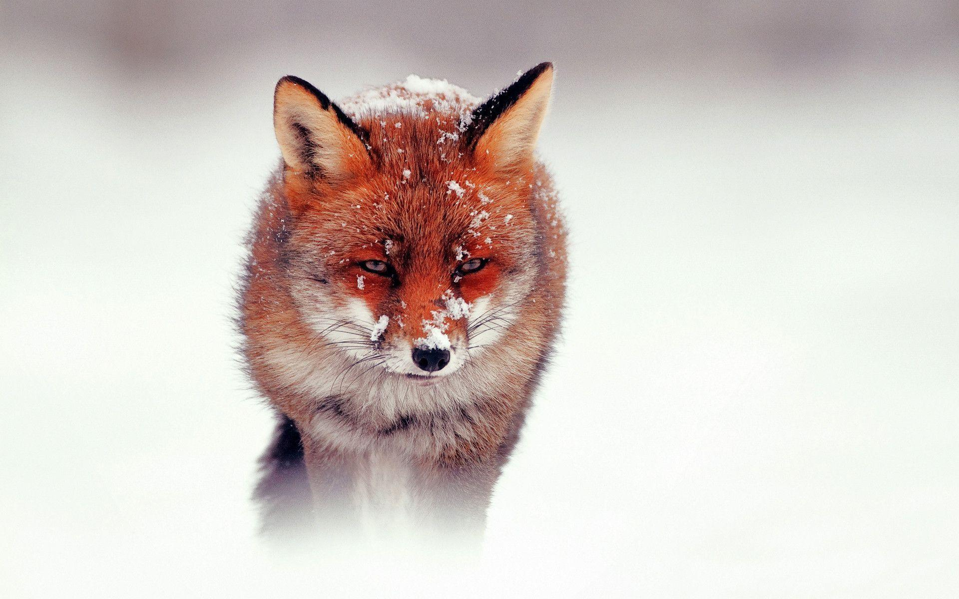 Red Fox Wallpapers 3818 Wallpapers