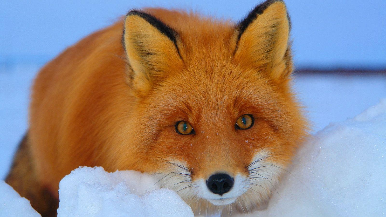1600x900 Red fox Wallpapers